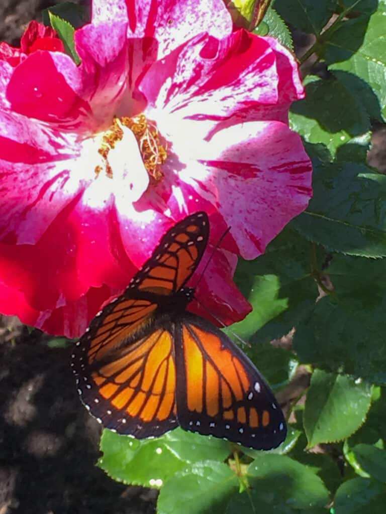 Canada day rose with butterfly in garden