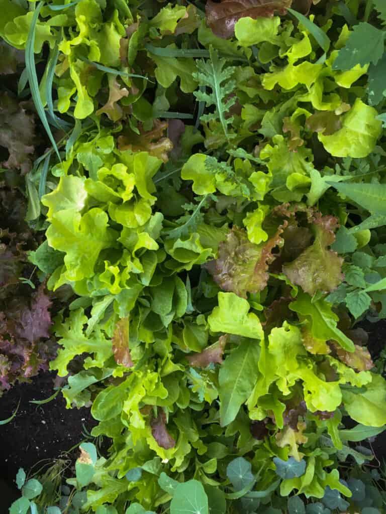 mesclun lettuce in a garden